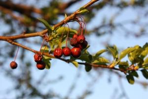 Berries at a neighborhood park